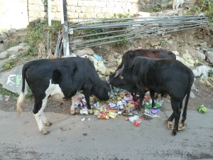 cows eating rubbish