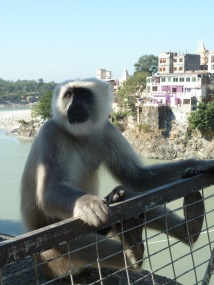 Monkey at Laxman Jhula bridge